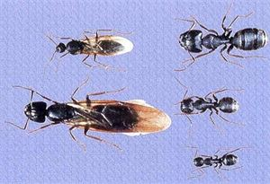 Carpenter Ants  vary in size and some have wings while others do not.  In this picture, the Queen is the largest Ant and has wings.