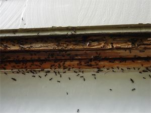 Carpenter Ants like moist areas particularly in spaces where two pieces of wood come together such as window sills and door jams. This picture shows a window sill infestation.
