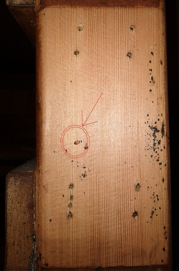 You can see a live Bed Bug in the circle.  This Bed Bug was hiding between 2 pieces of wood that were very tightly held together with several screws to make the bed frame.  When we removed the screws & separated the 2 pieces of wood we were surprised to find a live Bed Bug inside.  Just more evidence that these bugs can get into the smallest areas, so to find them & do a proper inspection/treatment, you really need to be thorough.